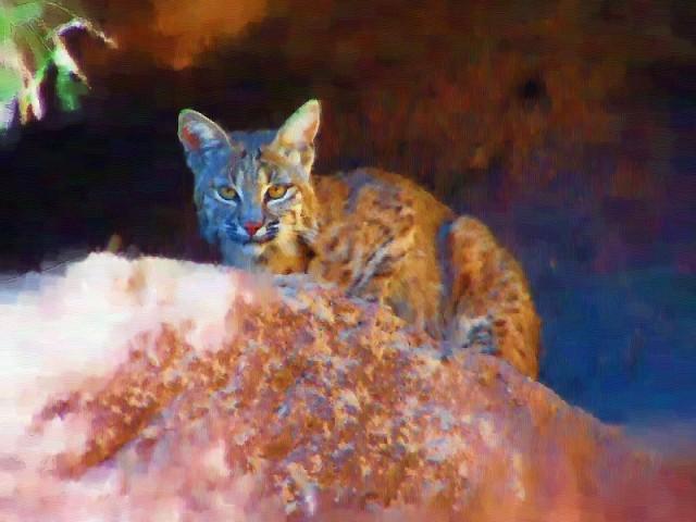 bobcat80012sized.jpg